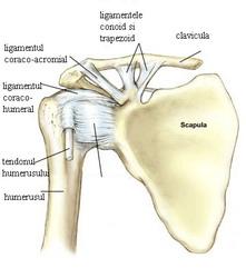anatomia umar